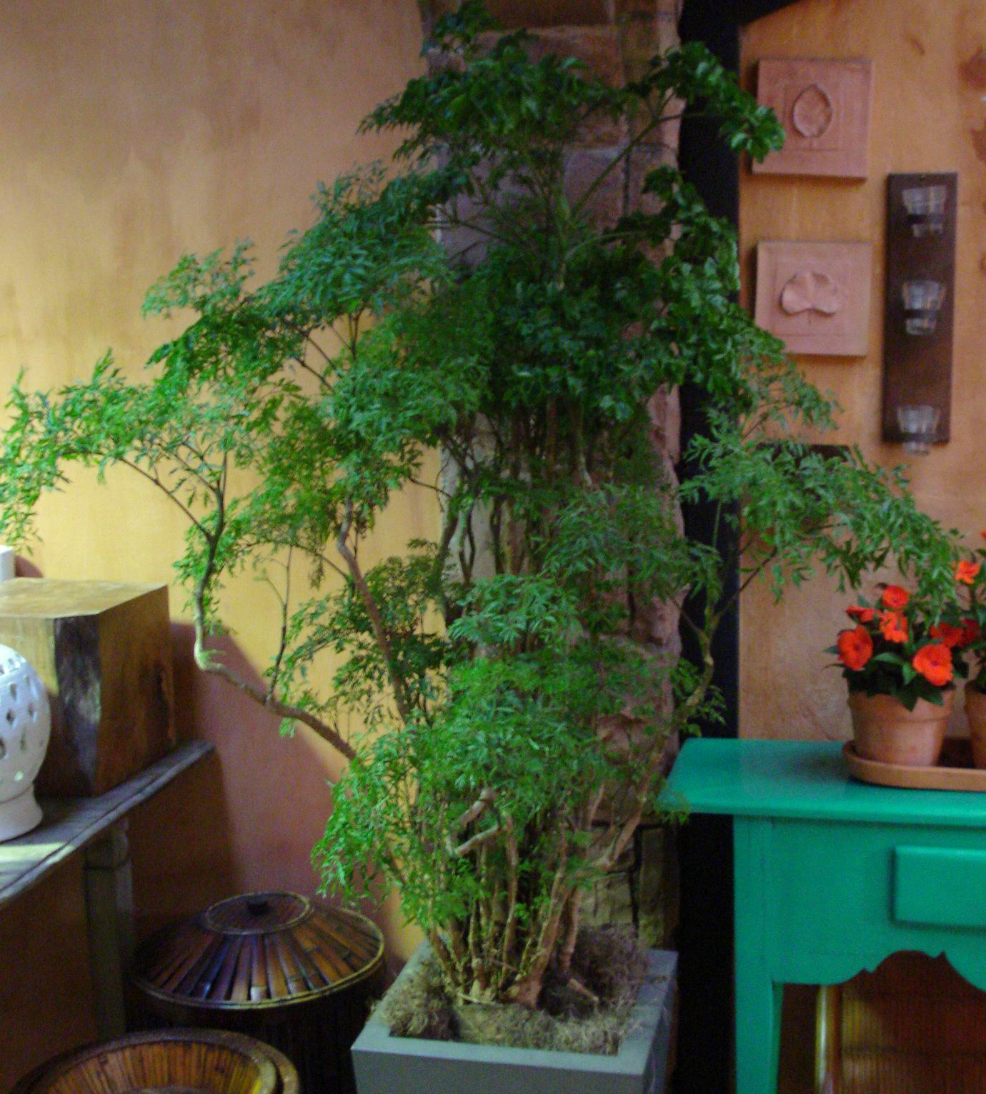 Plantas de interior parte 3 arvores cultivando eleg ncia for Plantas de interior duraderas